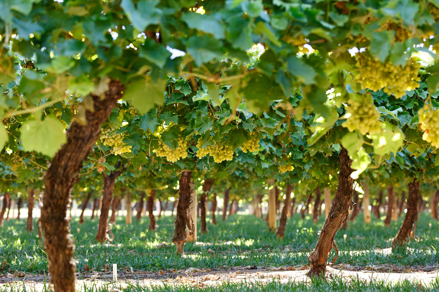 From Farm to Table: Australian Table Grapes Are Back in the Philippines With Unique Varieties on Offer This Season